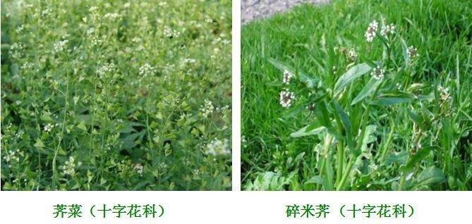 马尼拉草坪防除常见阔叶杂草