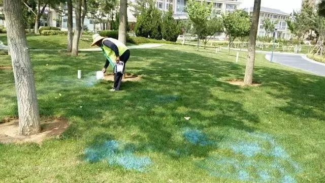 马尼拉草坪的养护管理