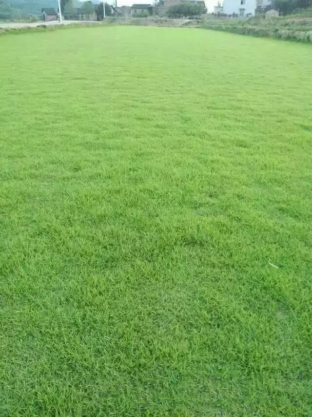 马尼拉草坪的养护