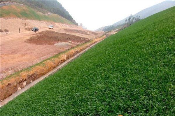 马尼拉草坪的培植技术