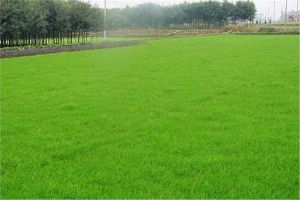 马尼拉草坪种植基地
