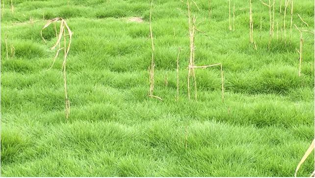 马尼拉草坪20天彻底除根