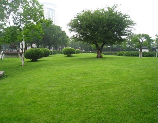 马尼拉草坪:田里的马尼拉草皮怎么养护?