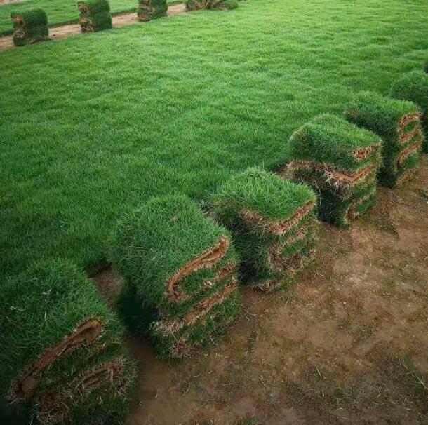 马尼拉草坪