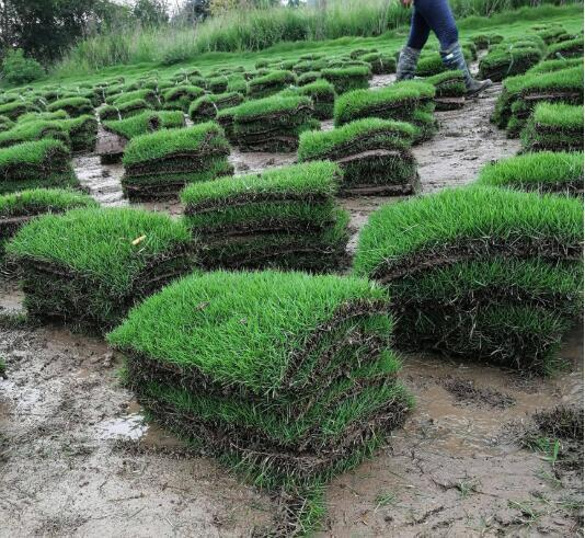 台湾草草皮