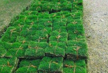 大叶油草皮