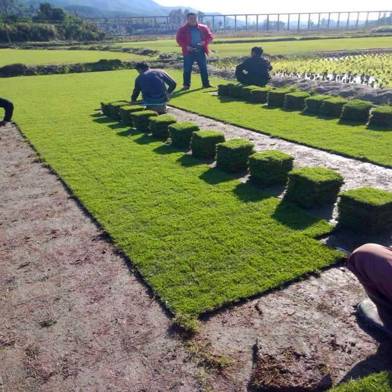 绿化草坪基地