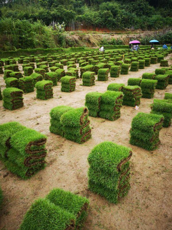 马尼拉草绿化草坪
