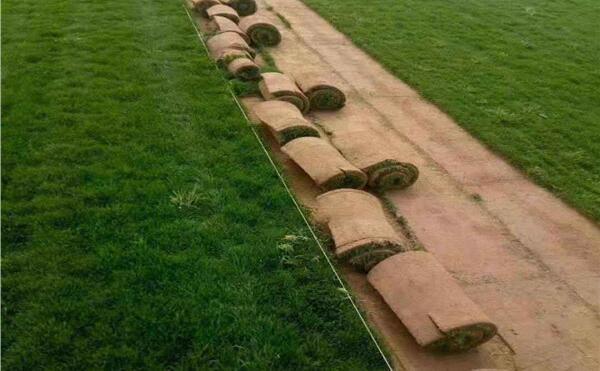 马尼拉草坪养护