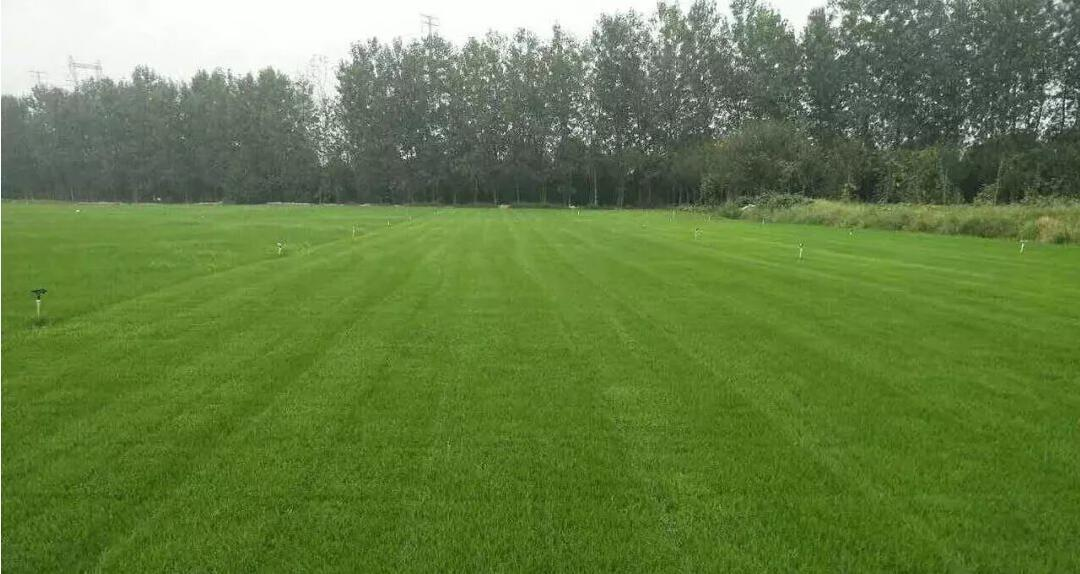 台湾草和马尼拉草坪的区别