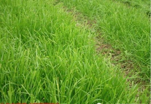 高羊茅草坪种子价格黑麦草坪种子价格马尼拉草坪