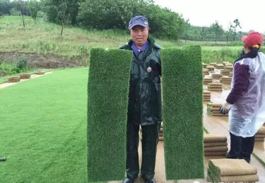 高尔夫专用剪股颖草坪