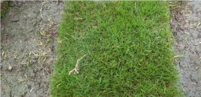 1马尼拉草坪种植高羊茅草坪种植