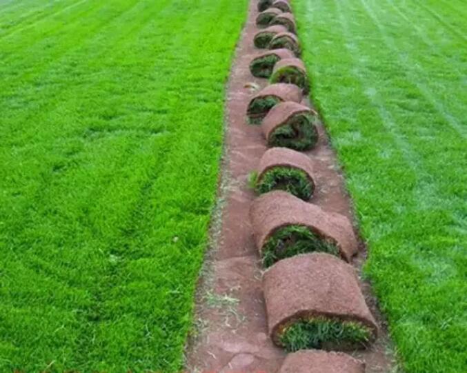 马尼拉草坪种植高羊茅草坪种植