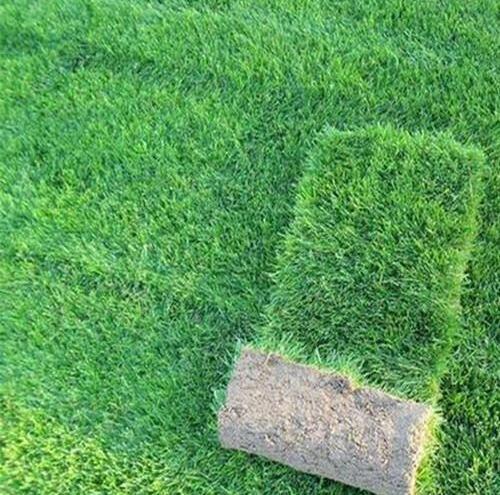 天堂草是哪种草坪草