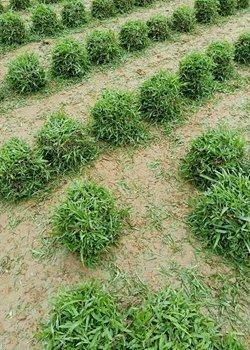 深圳马尼拉草厂家