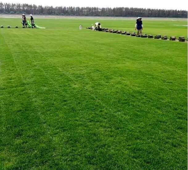 马尼拉草绿化草坪供应