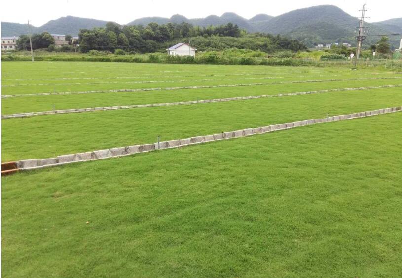 广东马尼拉草皮-惠州高羊茅草坪价格,马尼拉草坪价格