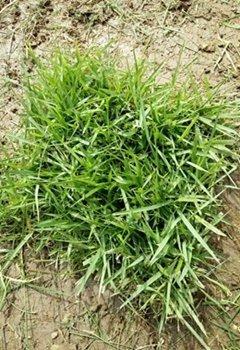大叶油草皮种植基地