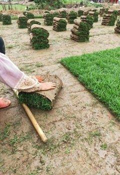 深圳台湾草