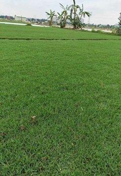 惠州兰引3号草场