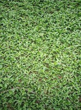广东惠州优质马尼拉草供应商