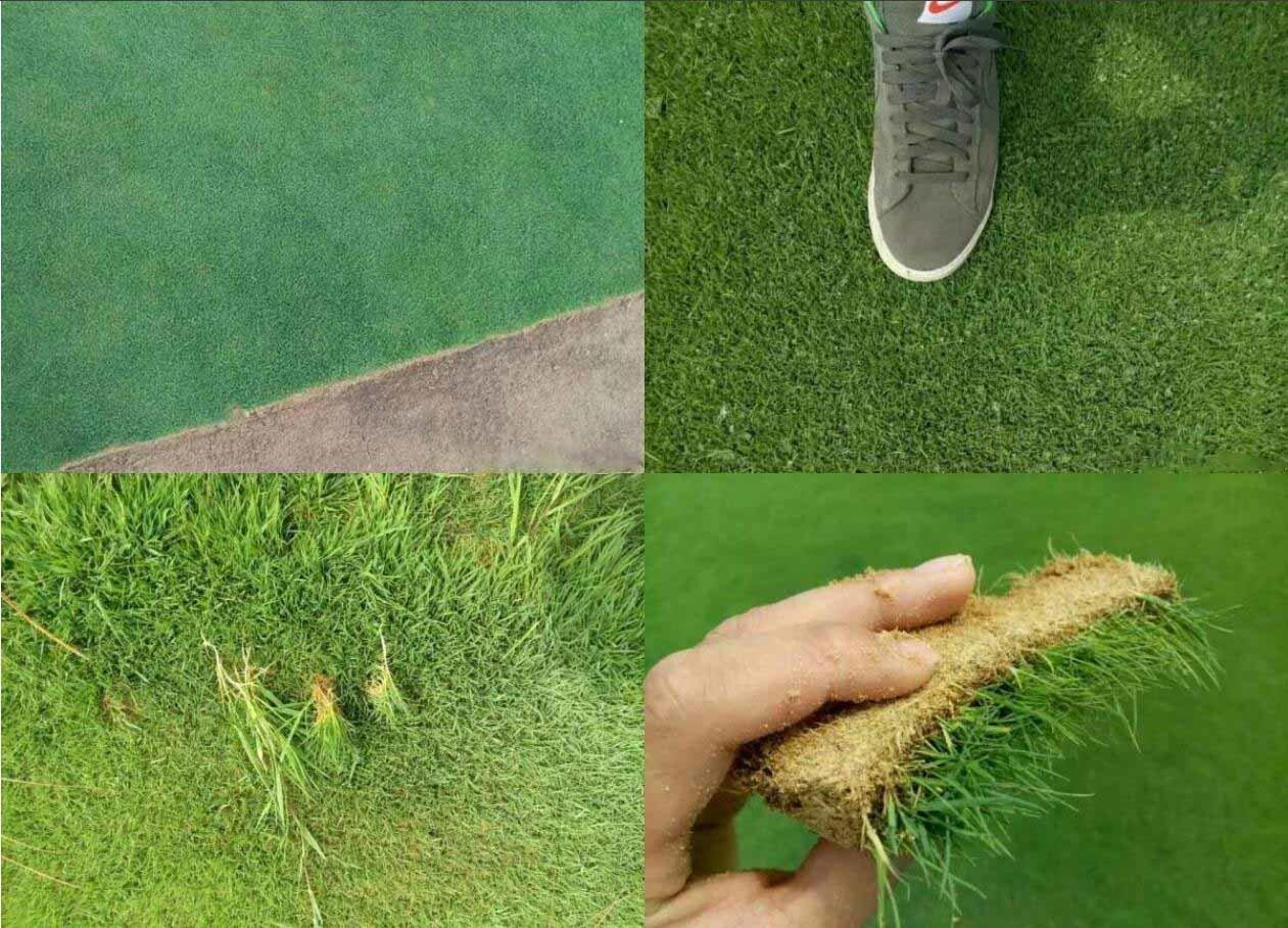 百慕大草和马尼拉草有什么不同?