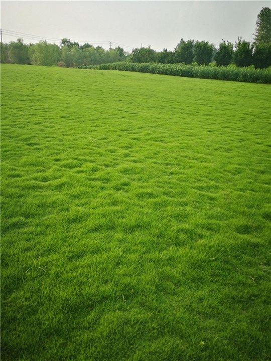 广东马尼拉草皮