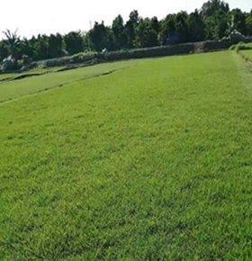 珠海马尼拉草皮怎么除杂草