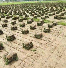 草场基地自销草皮-草块-草卷-草坪