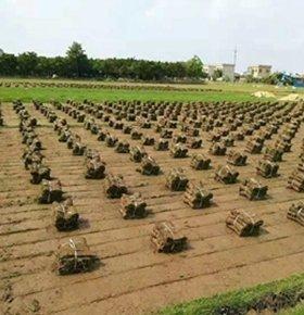 珠海金湾兰引3号草坪供应