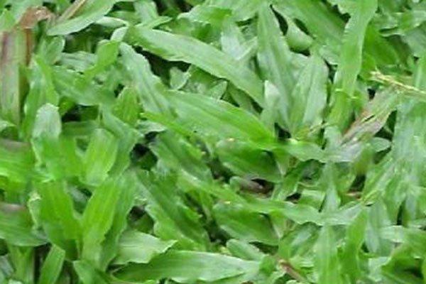 兰引三号草