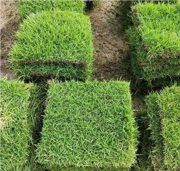 马尼拉草草坪