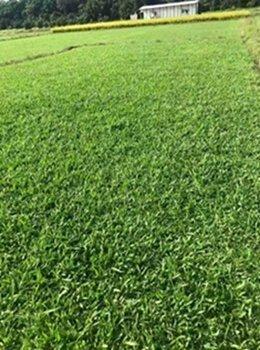 泉州抗病害草皮