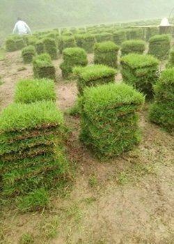 广东草坪价格