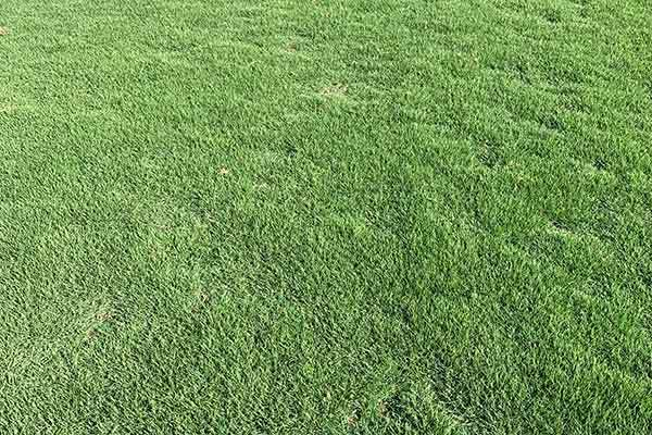 广东大叶油草卷基地