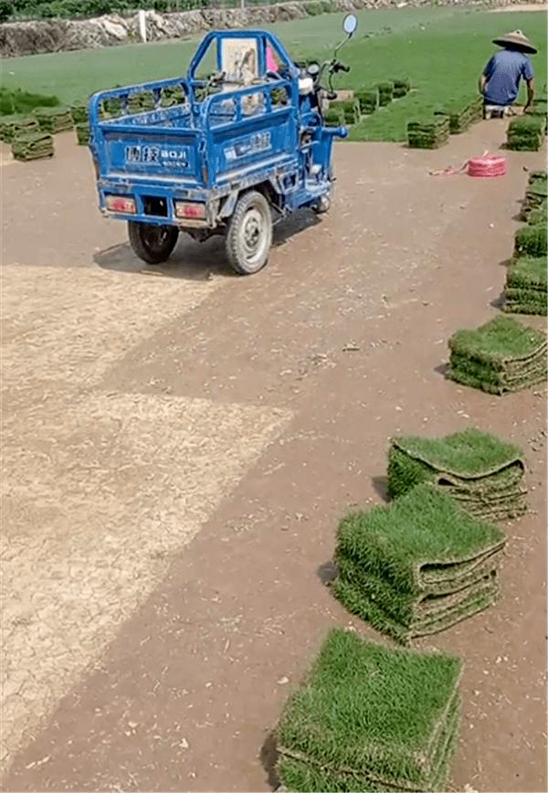 惠州茂沁绿化马拉尼草皮供应