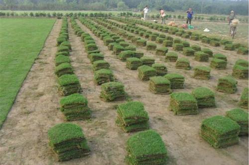 广东马尼拉草皮供应-惠州好的马尼拉草草场