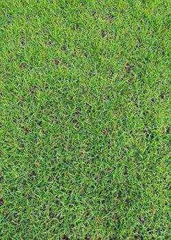 广东马尼拉卷草厂家