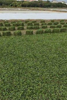 绿化草皮大量供应