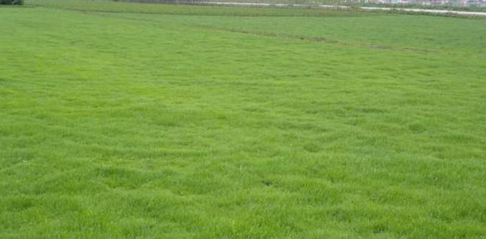 广州马尼拉草价格分析如何保养马尼拉草坪呢?马尼拉草价格,马尼拉草价格表,马尼拉草价格拆训,附近马尼拉草价格