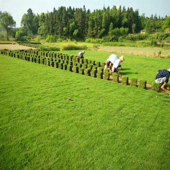 供应草皮草坪,马尼拉草,马尼拉草皮,马尼拉草坪