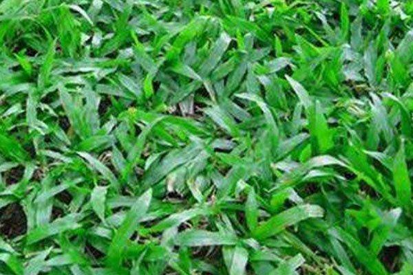 广东茂沁绿化草场哪家质量好,马尼拉草供应