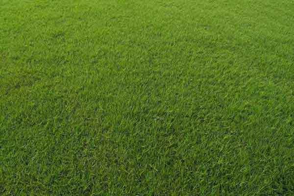 广东马尼拉草皮-广东惠州茂沁绿化草皮种植基地大量现货批发