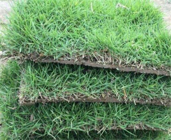马尼拉草坪优缺点 马尼拉草种植技术