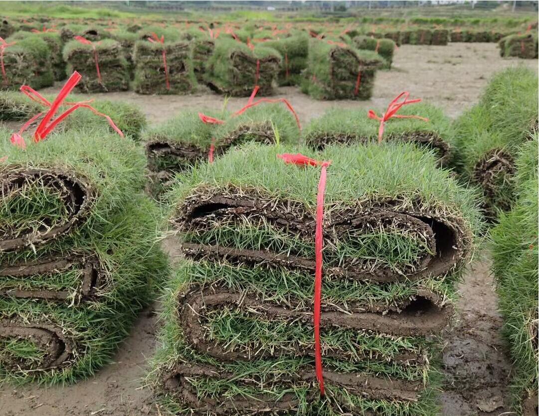 惠州茂沁绿化厂家,马尼拉草坪供应厂家介绍建坪方法