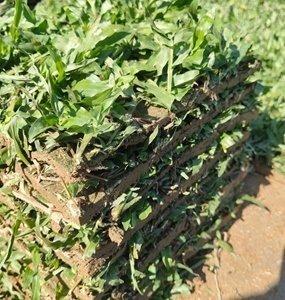 广东马尼拉草皮,惠州马尼拉草皮终年供给