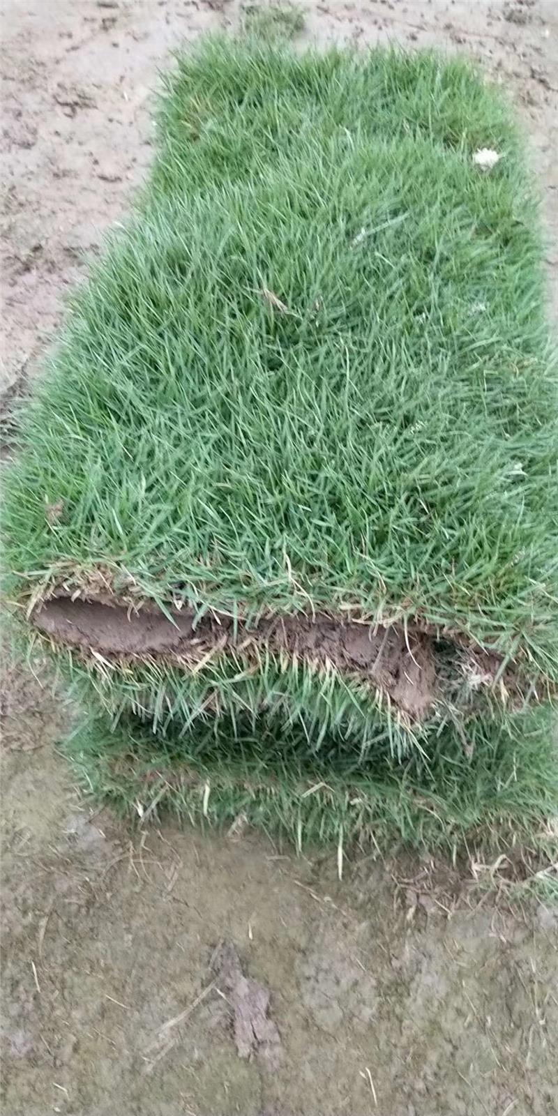 广东马尼拉草皮-草坪批发,龙华马尼拉草供应