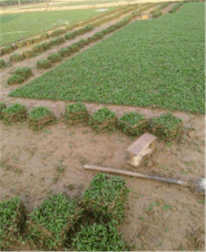 大叶油草卷,大叶油草皮场,广东清远大叶油草基地