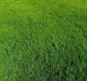 台湾二号草种植批发,马尼拉草坪多少钱一卷